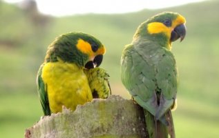 Loro Parque Fundacion contributes to the successful recovery of the Yellow-eared Parrot in Colombia 4