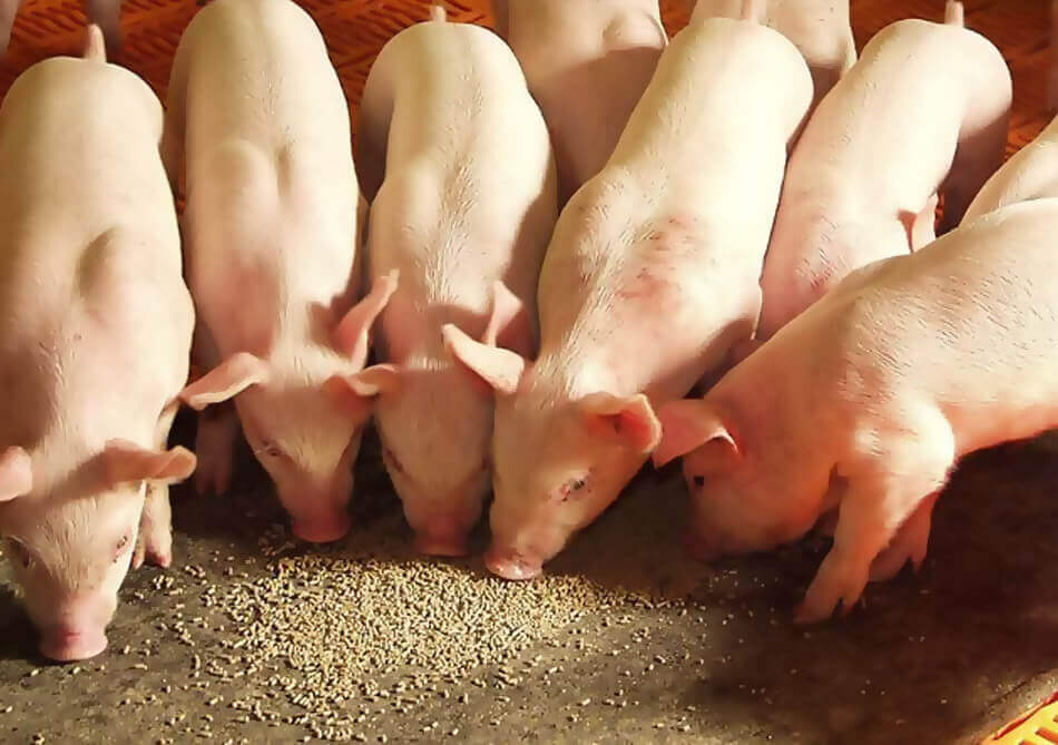 Global Swine Feed Market to Reach US$ 149.6 Billion by 2024 – IMARC Group 1