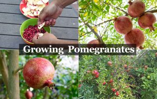 OMJOOS Is Becoming Self-Reliant by Growing Its Own Organic Pomegranates and Mangoes 2