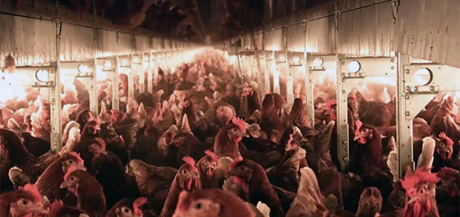 Humane Farming Association Sues MA Attorney General Over Anti-Cruelty Law 1