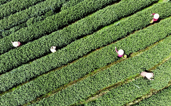 Zhejiang to host fourth China International Tea Expo in late May 1